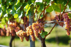 Vineyards at sunset in autumn harvest. Ripe grapes in fall. Stock Image