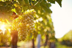 Vineyards at sunset in autumn harvest Stock Image