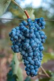 Vineyards at sunset in autumn harvest. Ripe grapes in fall. Vineyards at sunset in autumn harvest. Ripe grapes in fall stock images