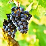 Vineyards at sunset in autumn harvest. Ripe grapes.Wine Region, Southern Moravia - Czech Republic. Vineyard under Palava. Stock Photography