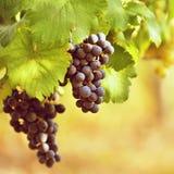 Vineyards at sunset in autumn harvest. Ripe grapes.Wine Region, Southern Moravia - Czech Republic. Vineyard under Palava. Royalty Free Stock Photo