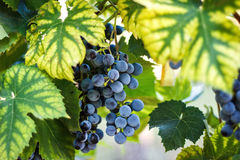 Vineyards at sunset in autumn harvest. Ripe juicy grapes in fall. Stock Images