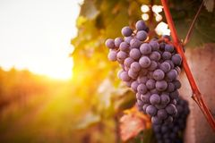 Vineyards at sunset in autumn harvest. Toned stock photos