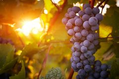 Vineyards at sunset in autumn harvest. Toned stock image
