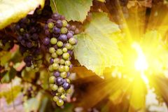 Vineyards at sunset in autumn. Ripe purple grapes in rays of sun. Harvesting time. Selective focus.  royalty free stock photography