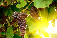 Vineyards at sunset in autumn. Ripe purple grapes in rays of sun. Harvesting time. Selective focus.  stock photo