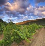 Vineyards at sunset Stock Image