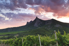 Vineyards at sunset Stock Photography