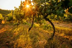 Vineyards at sunset on a summer day stock photos