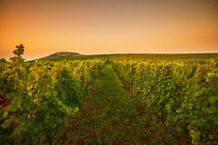Vineyards at sunset. Toned Royalty Free Stock Photo