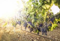 Vineyards on sunset stock photography