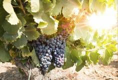 Vineyards on sunset royalty free stock photography