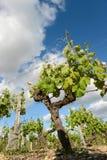 Vineyards in the sunshine-Vineyards of Loupiac, Bordeaux Vineyar Royalty Free Stock Photography