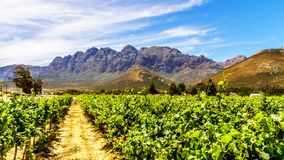 Vineyards and surrounding mountains in spring in the Boland Wine Region of the Western Cape Royalty Free Stock Photo