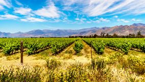 Vineyards and surrounding mountains in spring in the Boland Wine Region of the Western Cape Royalty Free Stock Image