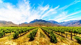 Vineyards and surrounding mountains in spring in the Boland Wine Region of the Western Cape Stock Photography