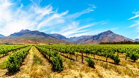 Vineyards and surrounding mountains in spring in the Boland Wine Region of the Western Cape Stock Photo