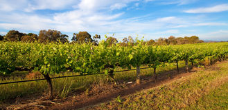 Vineyards. In Swan Valley, near Perth, Australia royalty free stock image