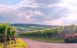 Vineyards in Swiss. With the meadows in the background Royalty Free Stock Images