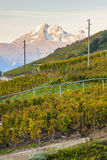 Vineyards, Switzerland Royalty Free Stock Images