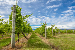 Tasmania Vineyards  Stock Images