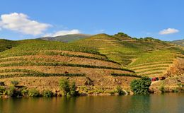 The vineyards on the terraces of the Douro river. Photo of the vineyards on the terraces of the Douro river - Trás-os-Montes and Alto Douro Province stock image