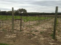 Vineyards at a winery in Texas. Wine vineyards in Wimberley, Texas Royalty Free Stock Photo