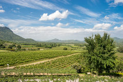 Vineyards in Thailand Royalty Free Stock Photography