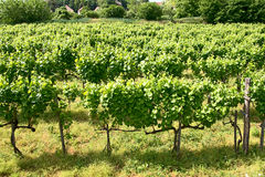 vineyards of Tokaj, Hungary Royalty Free Stock Image