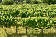 Vineyards of Tokaj, Hungary Royalty Free Stock Photo