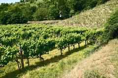 Vineyards of Tokaj, Hungary Stock Photography