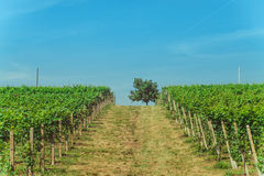 Vineyards and tree under the sun. Vineyards and tree and sun Royalty Free Stock Images