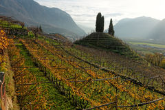 Vineyards of Trentino, Italy. At sunset royalty free stock images