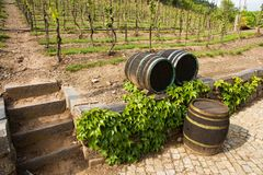 Vineyards in troja royalty free stock photography