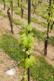 Vineyards in troja Royalty Free Stock Images