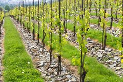 Vineyards in troja Stock Photo