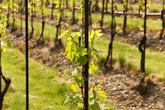 Vineyards in troja Stock Photo