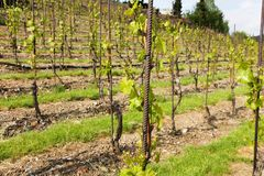 Vineyards in troja Stock Photography