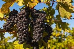 Vineyards in Ukraine royalty free stock photo
