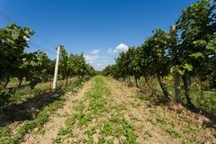 Vineyards under Palava. Czech Republic Royalty Free Stock Images