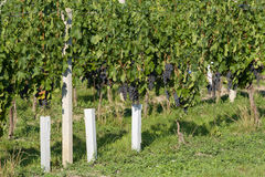 Vineyards under Palava. Czech Republic Stock Photography