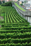 Vineyards under the rampart in Bellinzona. Well-groomed vineyards are situated on the green hill under the medieval rampart in Bellinzona Stock Photos