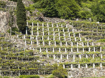 Vineyards in Valle d`Aosta, Italy. Cultivation on terraces of vineyards in Valle d`Aosta, Italy Stock Photos