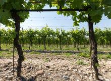 Vineyards in the Valpolicella region in Italy.  stock image