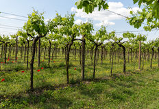 Vineyards in the Valpolicella region in Italy. Stock Photography