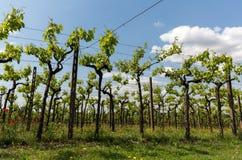 Vineyards in the Valpolicella region in Italy. Vineyards in the Valpolicella region in Italy royalty free stock image