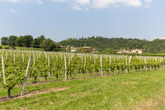 Vineyards in the Valpolicella region in Italy. Stock Images