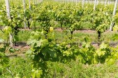 Vineyards in the Valpolicella region in Italy. Vineyards in the Valpolicella region in Italy stock image