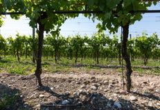 Vineyards in the Valpolicella region in Italy.  royalty free stock photo