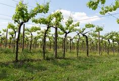 Vineyards in the Valpolicella region in Italy.  stock photos
